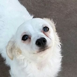 Poodle (Miniature)/Dachshund Mix Dog for adoption in Oakley, California - Fred