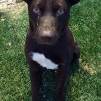 Adopt A Pet :: Bailey - Denver, CO