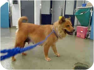 Chow Chow Mix Dog for adoption in Houston, Texas - Princess Chow