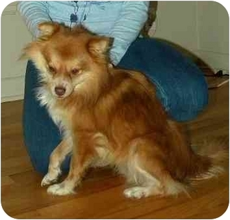 Pomeranian Mix Dog for adoption in Seattle, Washington - Mickey