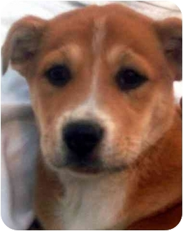Boxer/Labrador Retriever Mix Puppy for adoption in Chapel Hill, North Carolina - Holiday