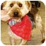 Photo 1 - Silky Terrier Dog for adoption in Osseo, Minnesota - Andy