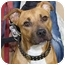 Photo 1 - American Pit Bull Terrier Mix Puppy for adoption in Berkeley, California - Butterscotch