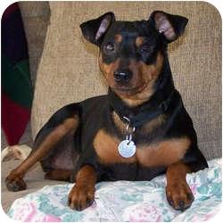 Miniature Pinscher Dog for adoption in Springvale, Maine - Rocky