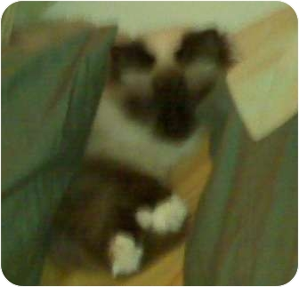 Birman Cat for adoption in Franklin, North Carolina - Penelope du Prince de Gala