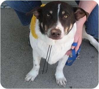 Dachshund/Rat Terrier Mix Dog for adoption in Arlington, Texas - Hank