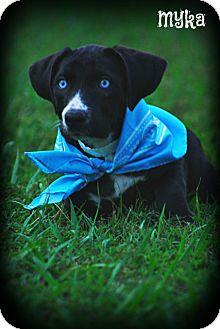 Border Collie/Basset Hound Mix Puppy for adoption in Brattleboro, Vermont - Myka