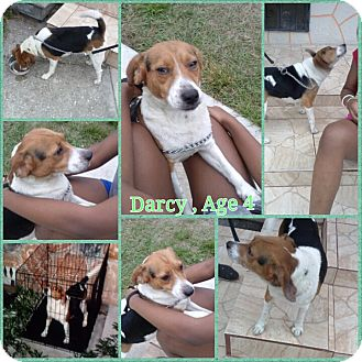 Beagle Dog for adoption in St. Petersburg, Florida - Darcy