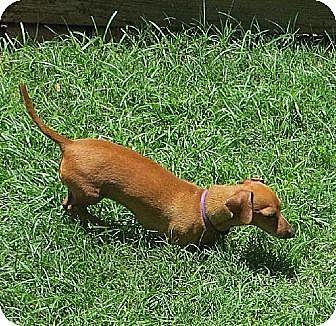 Dachshund Dog for adoption in Dallas, Texas - Jerry