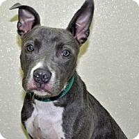 Adopt A Pet :: Shade - Port Washington, NY