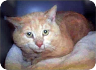 Domestic Shorthair Cat for adoption in San Clemente, California - BUTTERS = Cream Tabby