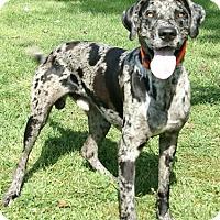 Adopt A Pet :: Meat Head - York, PA
