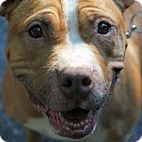 Adopt A Pet :: Daria - Tinton Falls, NJ