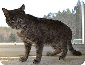 Domestic Shorthair Cat for adoption in Mineral, Virginia - Sebastian