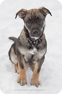 German Shepherd Dog/Husky Mix Puppy for adoption in Drumbo, Ontario - Maddi