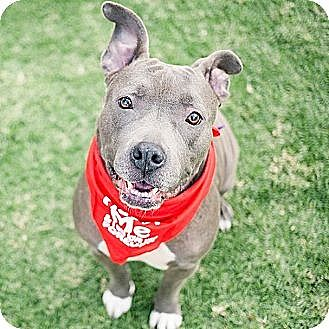 American Staffordshire Terrier/American Pit Bull Terrier Mix Dog for adoption in Santa Monica, California - Choco