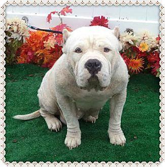 English Bulldog Mix Dog for adoption in Marietta, Georgia - WINNIE