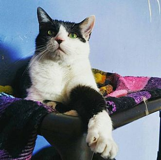 Domestic Shorthair Cat for adoption in Memphis, Tennessee - skeeter