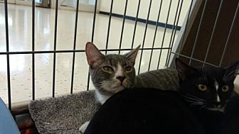 Domestic Shorthair Cat for adoption in Land O Lakes, Florida - Lorenzo