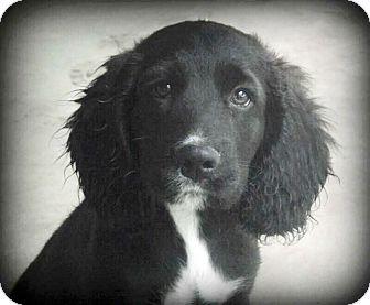 Cocker Spaniel/Labrador Retriever Mix Puppy for adoption in Haggerstown, Maryland - Archie