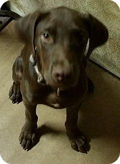 Labrador Retriever Mix Puppy for adoption in Pilot Point, Texas - CHARLIE