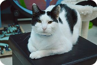 Domestic Shorthair Cat for adoption in Evansville, Indiana - Doug