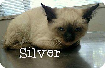Siamese Kitten for adoption in Irwin, Pennsylvania - Silver