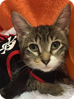 Domestic Shorthair Kitten for adoption in Houston, Texas - Savannah
