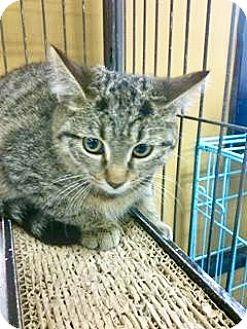 Domestic Shorthair Kitten for adoption in Hamilton, Ontario - Kango