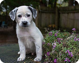 Australian Shepherd Mix Puppy for adoption in Hainesville, Illinois - Rondo