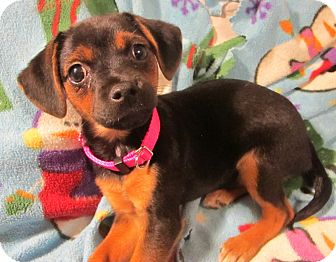Dachshund/Pug Mix Puppy for adoption in Allentown, Pennsylvania - TinkerBelle