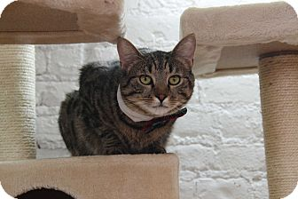 Domestic Shorthair Cat for adoption in Brooklyn, New York - Jude