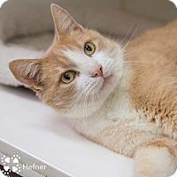 Adopt A Pet :: Hefner - Merrifield, VA