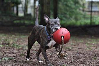 Pit Bull Terrier Dog for adoption in Eugene, Oregon - Buddy