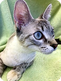 Siamese Kitten for adoption in Las Vegas, Nevada - Meryl