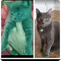 Adopt A Pet :: ASH ( (declawed -a lover - Sterling Hgts, MI