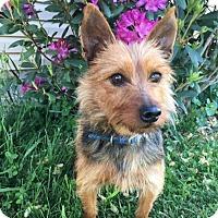 Adopt A Pet :: Amie - Wilmington, DE