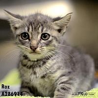 Adopt A Pet :: KITTY - Conroe, TX