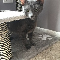 Adopt A Pet :: Meredith Grey - LaGrange Park, IL