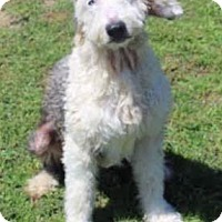 Adopt A Pet :: Woody - Petaluma, CA