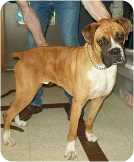 Boxer Dog for adoption in North Judson, Indiana - Norris