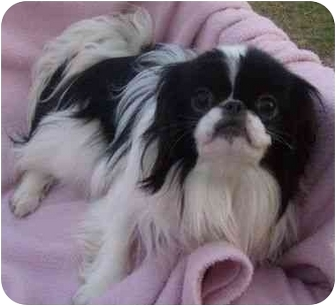 Japanese Chin Dog for adoption in House Springs, Missouri - Rachel