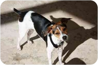 Rat Terrier/Jack Russell Terrier Mix Dog for adoption in Homestead, Florida - Little Daisy