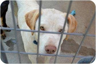 Labrador Retriever Mix Dog for adoption in Henderson, North Carolina - Shilo