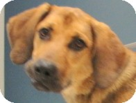 Bloodhound Mix Dog for adoption in Brazil, Indiana - BUSTER BODINE
