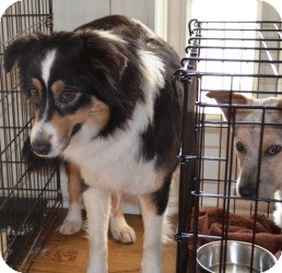 Anatolian Shepherd/Border Collie Mix Dog for adoption in Overland Park, Kansas - HOLLY
