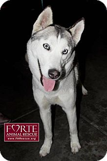 Husky Dog for adoption in Marina del Rey, California - Aurora