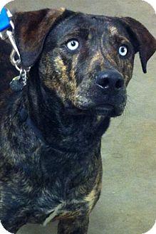 Plott Hound/Hound (Unknown Type) Mix Dog for adoption in Allentown, Pennsylvania - Apache