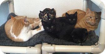 Domestic Mediumhair Kitten for adoption in Greensburg, Pennsylvania - Hodge