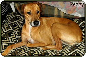 Vizsla/Greyhound Mix Dog for adoption in Silsbee, Texas - Peggy